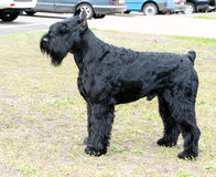 Giant schnauzer left side. Royalty Free Stock Photo