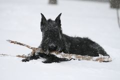 Giant Schnauzer lies with an apport stick in snow stock photos