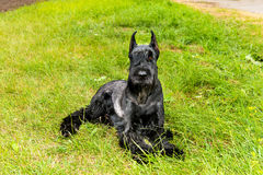 Giant schnauzer lies. Royalty Free Stock Images