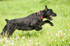 Giant schnauzer in motion. Giant schnauzer runs on the grass in summer Royalty Free Stock Photos
