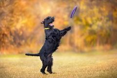 Giant Schnauzer play. With toy in yellow and orange fall leaves royalty free stock photo
