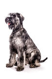 Giant Schnauzer. Portrait of a giant schnauzer on a white background Stock Photography