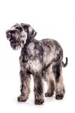 Giant Schnauzer. Portrait of a giant schnauzer on a white background royalty free stock photography