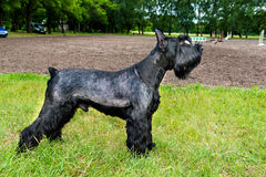 Giant schnauzer profile. Stock Images