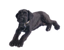 Giant Schnauzer puppy Stock Photography