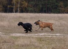 Giant Schnauzer rare breed of dog - the South African Boerboel. Autumn. Portrait in motion. Giant Schnauzer rare breed of dog - the South African Boerboel Royalty Free Stock Photography
