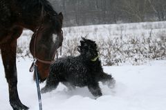 A giant schnauzer on the run A horse stallion runs on a cord, an angry dog is gnawed by him a giant schnauzer. Winter, field, snow. Overcast royalty free stock photo