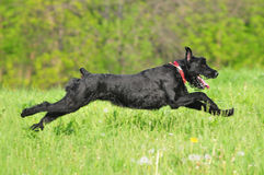 Giant schnauzer running Royalty Free Stock Images
