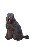 Giant schnauzer Stock Photos