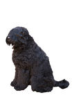 Giant schnauzer sitting Stock Images