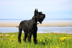 Giant Schnauzer standing on the grass royalty free stock image