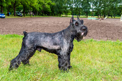 Giant schnauzer stands. Stock Photos