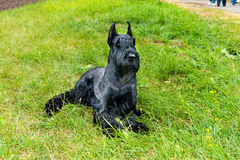 Giant schnauzer straight. Royalty Free Stock Photos