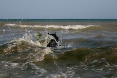 Giant Schnauzer swims safely during a storm waves. In the sea. Waves with foam and algae stock photography