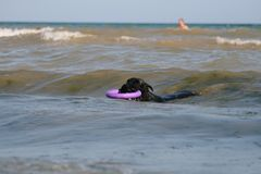 Dog Giant Schnauzer swims at the Black sea with puller royalty free stock image