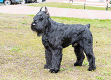 Giant schnauzer waits. The Giant schnauzer is on the grass in the park royalty free stock images