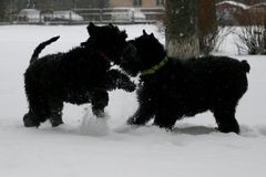 Giant schnauzers play with each other in the winter in the snow. Mother and daughter. royalty free stock photo
