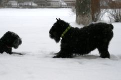 Giant Schnauzers play in the snow in winter. The dog falls on its front paws. Mother invites to the game grown daughter. stock photo