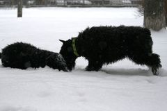 Giant Schnauzers play in the snow in winter. Junior expresses submission. Giant Schnauzers play in the snow in winter. Mother invites to the game grown daughter royalty free stock image