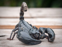 Giant scorpion. In attack pose stock images