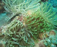 Giant Sea Anemone Colony Royalty Free Stock Photo