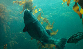 Giant sea bass fish Stereolepis gigas Royalty Free Stock Images