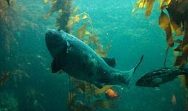 Giant sea bass fish Stereolepis gigas Royalty Free Stock Image