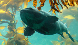 Giant sea bass fish Stereolepis gigas Royalty Free Stock Photos