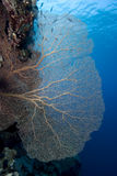 Giant Sea Fan Royalty Free Stock Photos