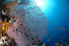 Giant Sea fan Royalty Free Stock Image
