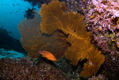 Giant Sea Fan. A colorful collection of sea fans and soft corals Royalty Free Stock Photo
