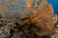 Giant sea fan (annella mollis) in the Red Sea. Royalty Free Stock Photo