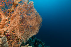 Giant sea fan (annella mollis) in the Red Sea. Royalty Free Stock Images