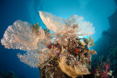 Giant sea fan colony Stock Photography