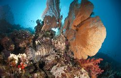 Giant sea fan with Common Lionfish. Stock Photography