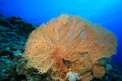 Giant Sea Fan Coral Royalty Free Stock Images