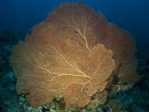Giant sea fan coral Stock Photo