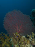 Giant sea fan coral Stock Image