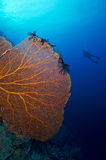 Giant Sea fan and diver Royalty Free Stock Photography