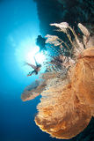 Giant sea fan with tropical Lionfish and diver. Stock Photo