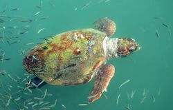 Giant Sea Turtle. A giant sea turtle surfaces in the ionian sea in Kefalonia Stock Images