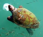 Giant Sea Turtle Stock Photo