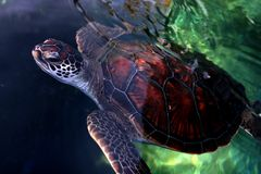 Giant Sea Turtle. Close up of a giant sea turtle's coming out of water Royalty Free Stock Image