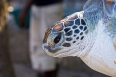 Giant sea turtle Royalty Free Stock Images