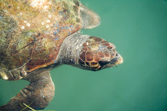 Giant Sea Turtle Stock Photos