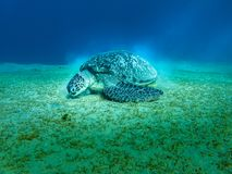 Giant Sea turtle close-up Red Sea Egypt Royalty Free Stock Photography