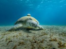 Giant Sea turtle close-up Red Sea Egypt Stock Photos