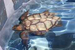 Giant sea turtle Stock Images