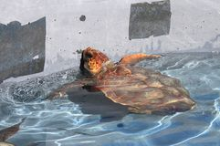 Giant sea turtle. Swimming in a pool Royalty Free Stock Photos