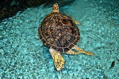 Giant sea turtle Royalty Free Stock Photos